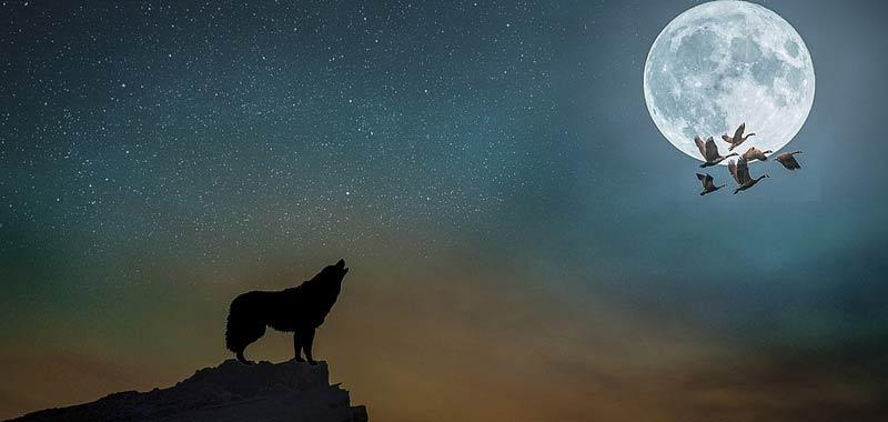 Perche i lupi ululano alla Luna