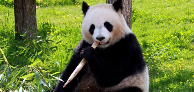 Sapete che il Panda è simbolo della Cina?