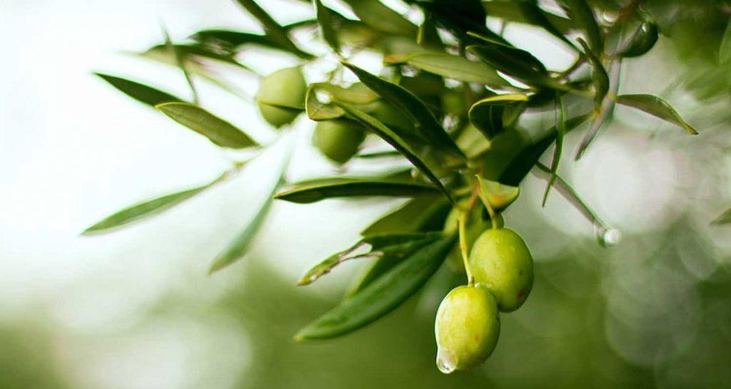 Le olive e i loro innumerevoli benefici